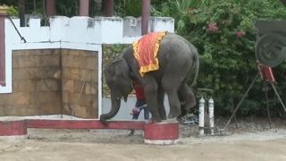 태국, 비극의 아기코끼리…강제공연 시달리다 숨져