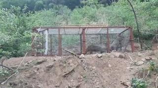 경북 영주서 덫으로 단번에 멧돼지 5마리 포획