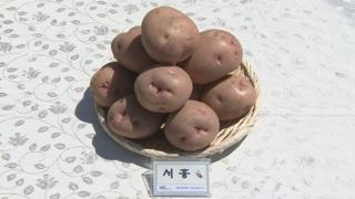감자값이 금값인데…신품종 '서홍' 농가소득 기대