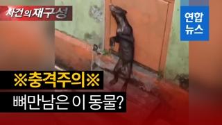 [영상] 뼈만 남은 채 울부짖는…'깡마른 곰' SNS서 논란