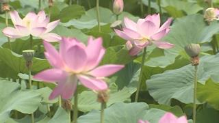 분홍빛 연꽃의 향연…양평 세미원 '연꽃문화제'