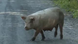 농장서 탈출한 돼지 250마리…되돌아온 사연은?