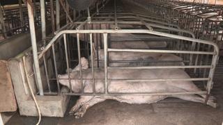 돼지열병 확진에 사육농가 초긴장