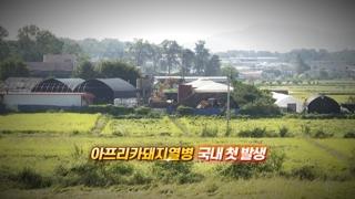 [영상구성] 파주서 아프리카돼지열병 확진