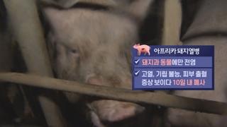 걸린 돼지는 전부 폐사…사람에겐 전염 안 돼