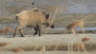 돼지열병에 인천·경기북부 멧돼지 총기포획 금지
