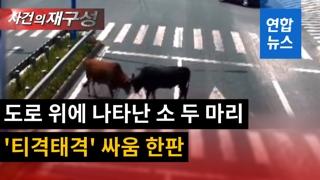 [영상] 도로 교차로 출현한 소 두마리…머리 들이박고 '결투'