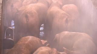 연천서도 돼지열병 발생…3km 내 1만마리 살처분