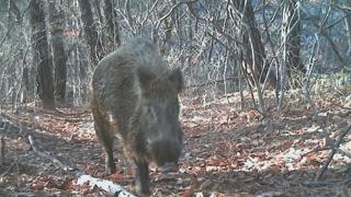 야생 멧돼지가 돼지열병 전파?…다른 가능성은