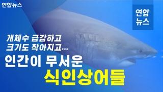 [이슈 컷] 개체 수 급감하고, 크기도 작아지고…인간이 무서운 식인상어들