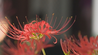 山寺 물들인 붉은빛 꽃무릇…가을 정취 물씬