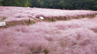 울산대공원 분홍빛 물결…핑크뮬리 만개