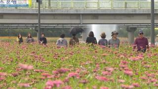 '10억 송이 꽃강을 거닐다'…장성 가을꽃 장관