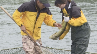 태화강으로 돌아온 연어…인공부화 연어의 귀환