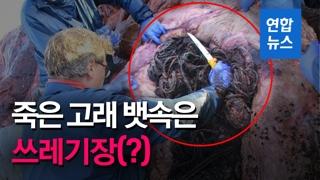 [영상] 14m짜리 죽은 향유고래 배 속에서 쓰레기 100㎏ '와르르'