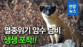 [영상] 팔당서 멸종위기 담비 한 쌍 포착…서울 인근 최초