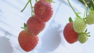 대형마트 매출 1위 딸기…국산품종, 일본품종 밀어내