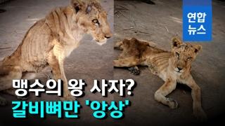 [영상] 뼈만 앙상하게 남아…죽어가는 수단 동물원 사자들