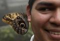 파나마 부엉이눈 나비