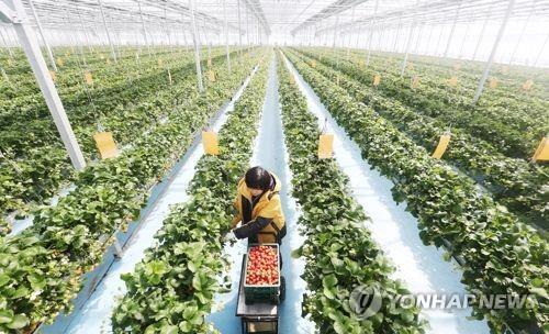 스마트팜 기술 적용한 딸기농장