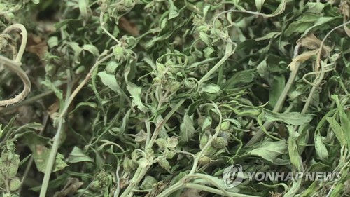 공기정화시설 갖춘 공장서 8천만원 상당 대마 재배·판매한 일당
