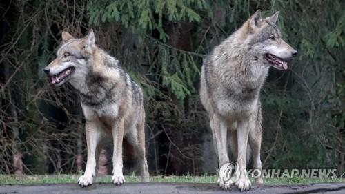 獨정부, 축산농가 피해시 늑대 사살 허용법 승인