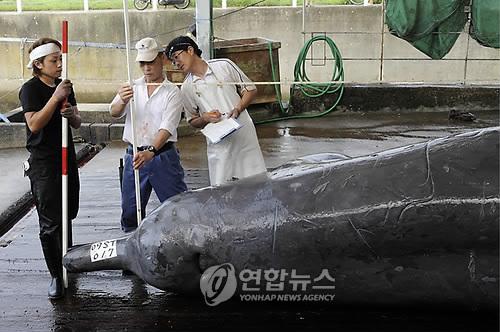아이슬란드, 5년간 2천마리 고래잡이 허용…시민단체 반발