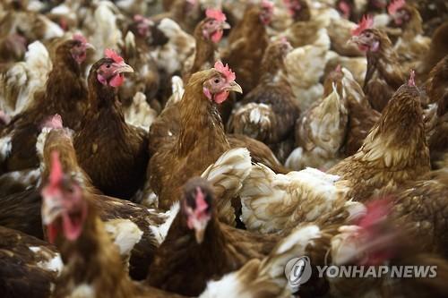 양계장의 닭