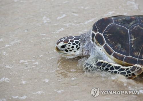 말레이서 구조된 바다거북, 필리핀 식당서 '고깃덩어리'로 발견