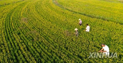 중국의 논농사 모습