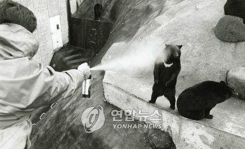 흑곰을 대상으로 실시한 후추 스프레이 테스트[연합뉴스 자료사진]