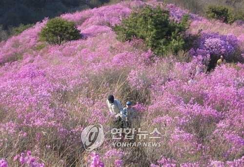 고려산 진달래 축제