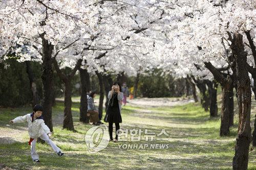 활짝 핀 벚꽃길