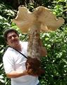멕시코 초대형 버섯