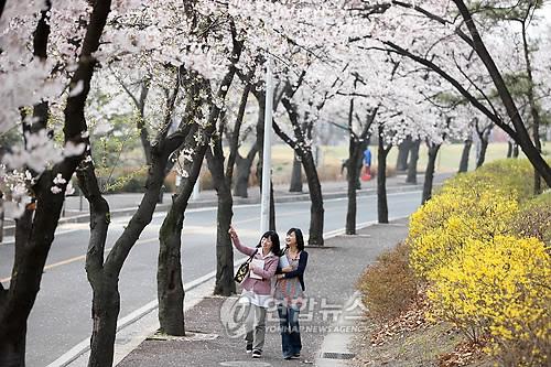 벚꽃 핀 경북대 캠퍼스