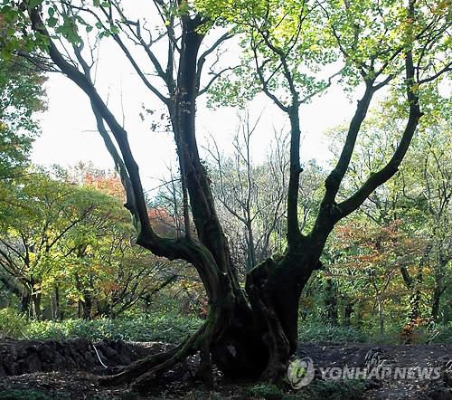한라생태숲서 발견한 100년 사랑 '연리목'[연합뉴스 자료사진]