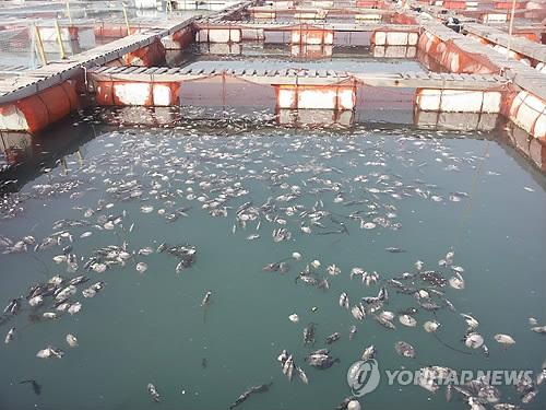 폐사한 양식 물고기들[연합뉴스 자료사진]