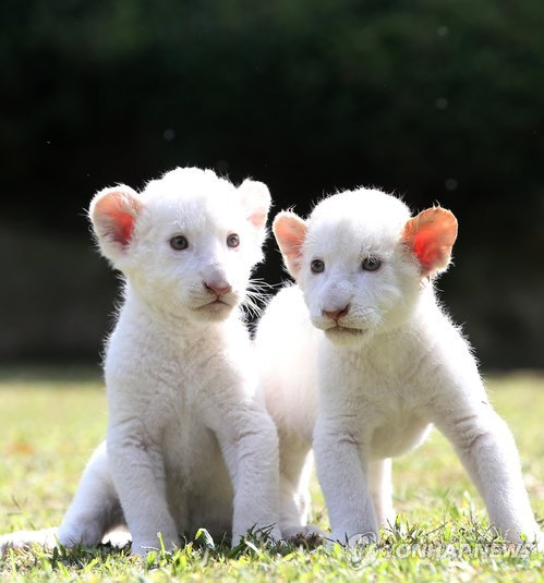 乖巧可爱的小白狮子