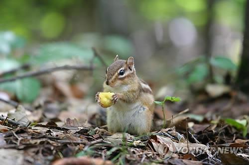 인제 방태산의 다람쥐[연합뉴스 자료사진]