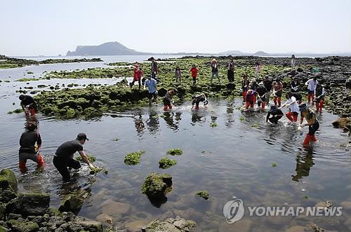 2015년 우도소라축제 '소라잡기 대회'[연합뉴스 자료사진]