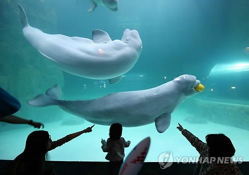 다시 만난 흰고래 '벨루가'