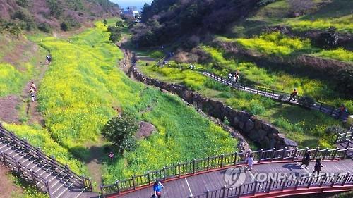 '제주는 봄 유채 천국'[연합뉴스 자료사진]
