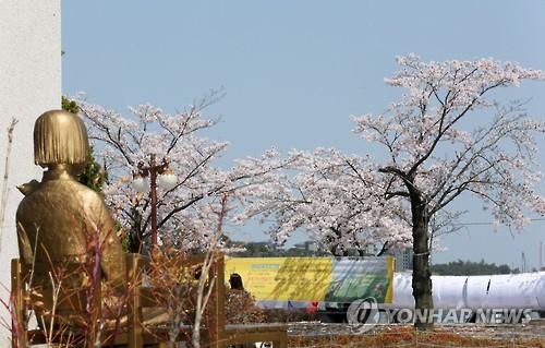 강릉 평화의 소녀상과 벚꽃