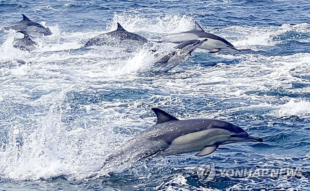 시원스레 물살 가르는 참돌고래떼[연합뉴스 자료사진]