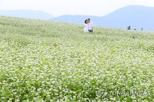 지난해 메밀꽃이 만개한 보롬왓 메밀밭[연합뉴스 자료사진]