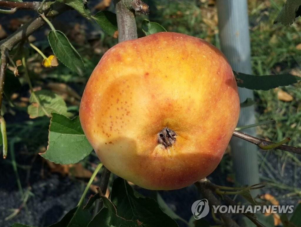 햇볕 데임 현상 발생한 사과 [연합뉴스 자료사진]