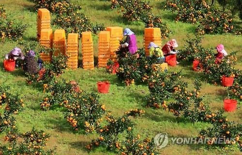 제주는 감귤 수확철[연합뉴스 자료사진]