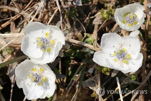 꽃망울 터뜨린 변산바람꽃
