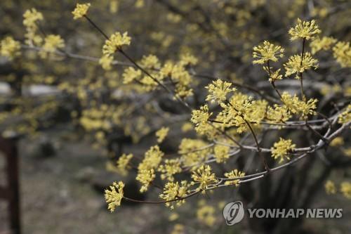 수줍게 봄 알리는 산수유꽃