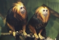 Golden-headed lion tamarins enjoying spring